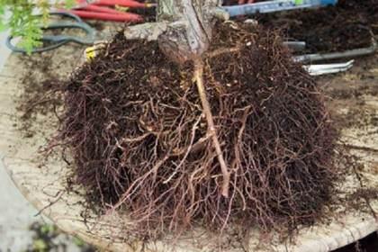 如何修剪针叶树盆景的根部?