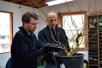 图解老外对三叉戟枫树盆景的根部修剪