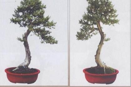 图解文人树盆景的造型札记
