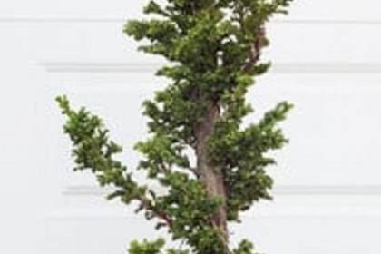 柳杉盆景的空中压条 - 第2部分