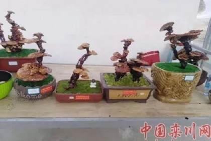 栾川有人用灵芝做盆景 一盆卖到1000元!