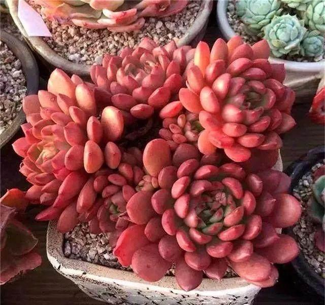 那么怎样才能养出颜色丰富的多肉植物?