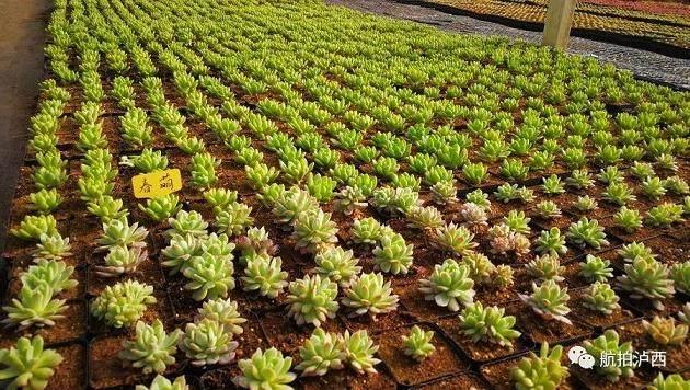 泸西将成为云南省最大的多肉种植基地