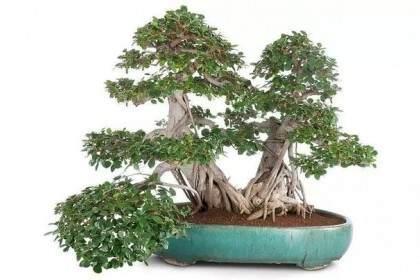 三步法教你怎么做榕树盆景的气根造型