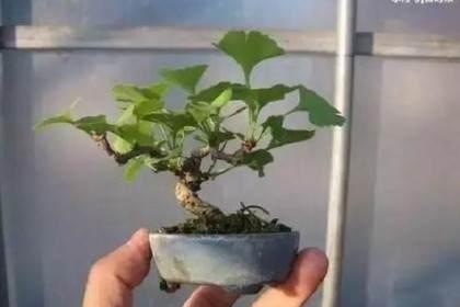 银杏树如何矮化用来做盆景?