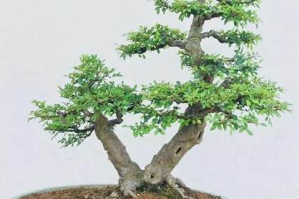 如何修剪双干式榆树盆景?