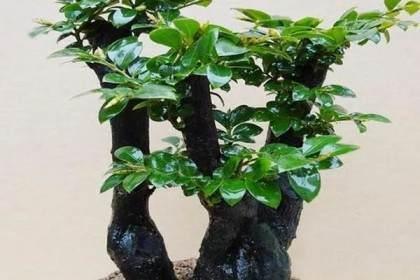 这种普通的盆景植物 常被冒充小叶紫檀盆景