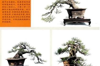 陳迪寅演示黑松盆景的制作過程