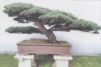 五针松盆景发芽后的树坯培养 图片