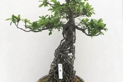 养护十年的杜鹃提根盆景 根系似森林