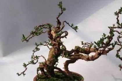 枸杞盆景要經常噴水 保持枝條濕潤 促進生長