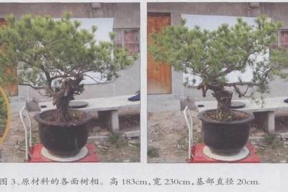 缩的过程 对一赤松盆景的改造利用