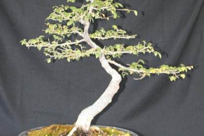中国榆树盆景的土壤和病虫害