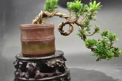 图解精品罗汉松微型盆景的造型