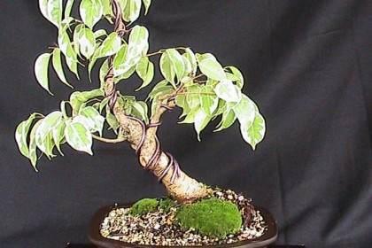 一旦你有了榕树盆景 就必须考虑土壤和盆栽