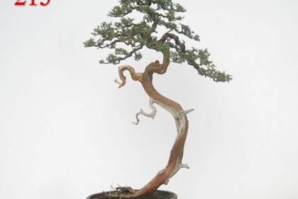 怎样攀扎黄杨树盆景枝条?