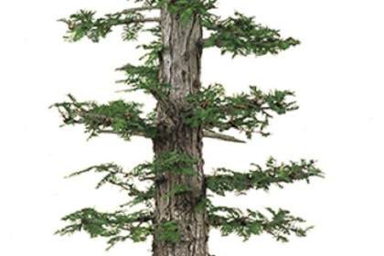 直杆盆景的发芽修剪与养护 图片