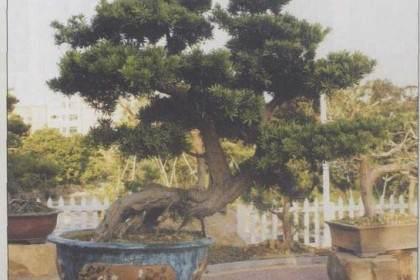 海岛罗汉松盆景的4个特点