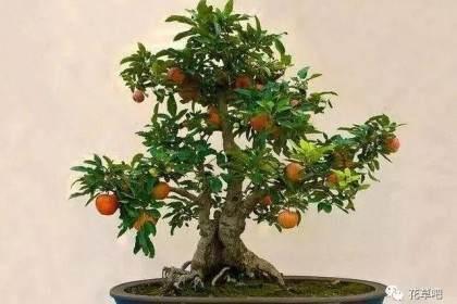 怎么制作苹果盆景 浇水发芽5个方法 图片