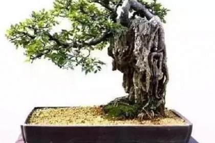 怎样亲手制作榕树附石盆景?