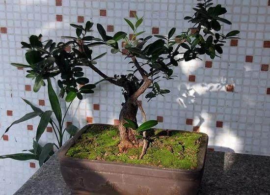盆栽桔子树的7个养殖方法