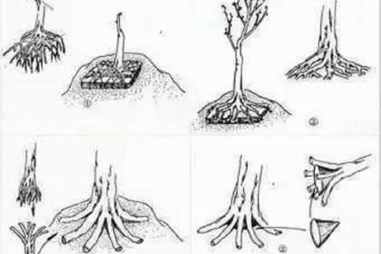 树桩盆景的完美造型及4种提根方法