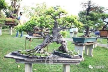 闽南盆景爱好者喜欢在榕根的造型上下功夫