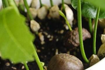 如何在家种一盆养眼的栗子盆栽?