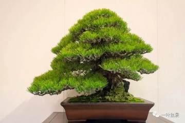 给松树盆景造型的3个步骤