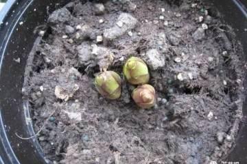 盆栽百合花怎么种?