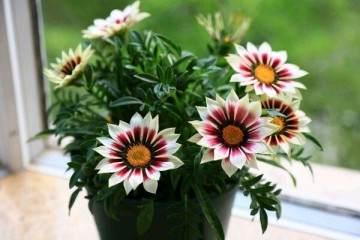 家居盆栽植物新宠 漂亮得像假花