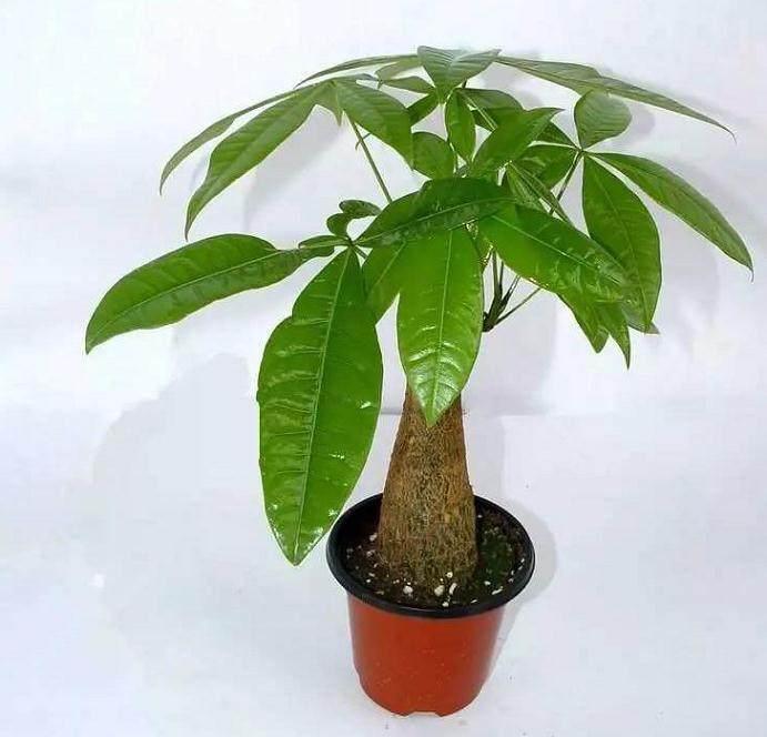 立冬以后 - 发财树盆栽养护小技巧!