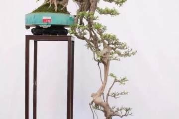 悬崖式老桩盆景怎样造型的方法 图片