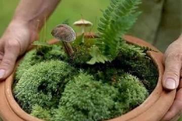 蕨类植物作为盆景极其低调 你会欣赏吗
