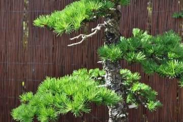 图解 2002年制作日本落叶松盆景的过程