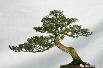黄杨老桩盆景采挖时间最好为春季发芽前