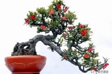 垂丝海棠盆景的上盆与造型