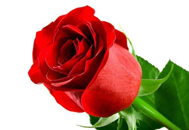 4月玫瑰价格较上月继续下跌,跌幅不明显