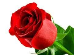 4月玫瑰价格较上月继续下跌 跌幅不明显