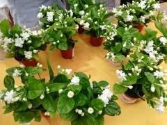 如4月 茉莉盆花 售价4.0~12.0元/盆