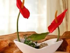 4月 盆径14~19厘米的红掌品种18.0~45.0元/盆