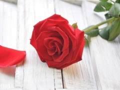 玫瑰价格连续2个月呈下跌趋势 跌幅不明显