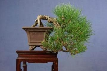 請欣賞:日本的小品黑松盆景