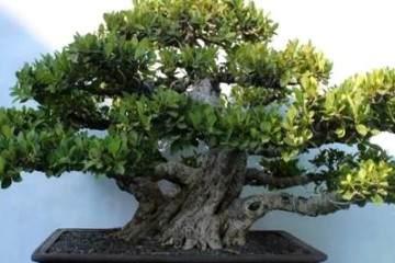榕树盆景应放置在通风 透明的地方