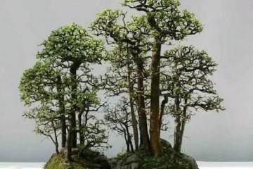 农村有什么树适合做盆景?