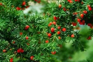 红豆杉盆景对于土壤没有什么特别的要求