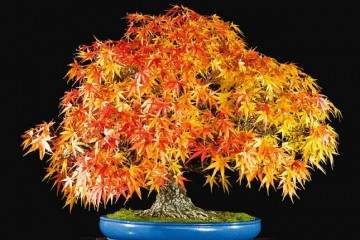日本枫树通常是从切割和空气层生长盆景