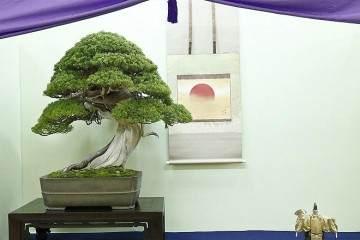 今天是第34届日本台湾盆景展的设置和评选