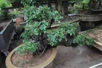小叶榆树盆景移入室内后出现黄叶该怎么办?