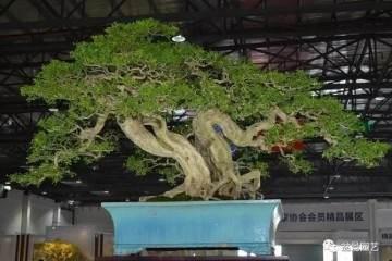 如何制作價值百萬元九里香盆景?